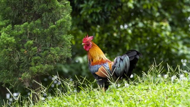 vídeos y material grabado en eventos de stock de vista de bajo ángulo gallo caminando sobre hierba en la naturaleza, tailandia - gallo