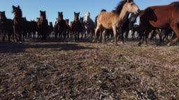 Low Angle View Running Wild Horses of Anatolia