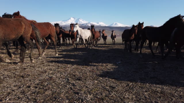 low angle view running wild horses of anatolia - herding stock videos & royalty-free footage
