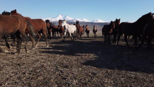 vidéos et rushes de vue à angle bas courant chevaux sauvages d'anatolie - turc