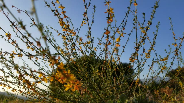 low angle view through orange and yellow flowers at clear blue sky - ネイチャーズウィンドウ点の映像素材/bロール
