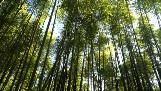 low angle view to see in Arashiyama Bamboo Forest in Kyoto, Japan