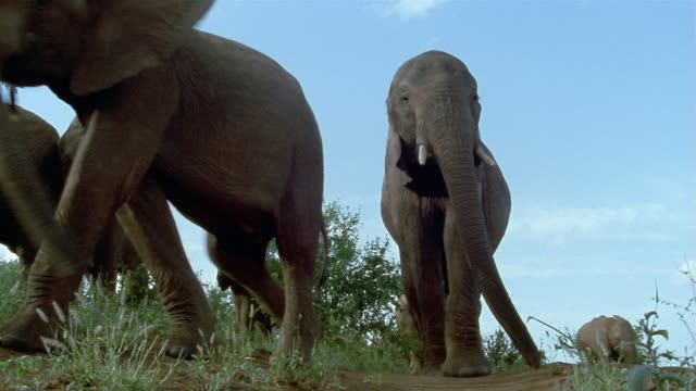 low angle wide shot elephants walking past cam / close up elephant walking up to cam / tsavo east national park / kenya - herding stock-videos und b-roll-filmmaterial