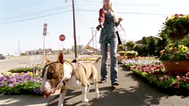 low angle woman being pulled by bull terrier on leash / dog sniffing flowers lining sidewalk - 犬の散歩点の映像素材/bロール