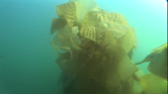 """vidéos et rushes de """"low angle zoom-in-seaweed undulates in an ocean current. / alaska, usa"""" - algues"""