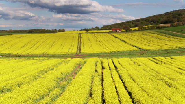 Low Drone Shot Across Rapeseed Field