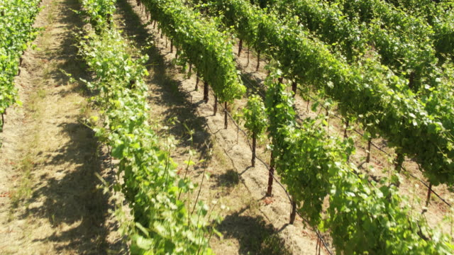 low drone shot of grapes growing in vineyard - grape stock videos & royalty-free footage