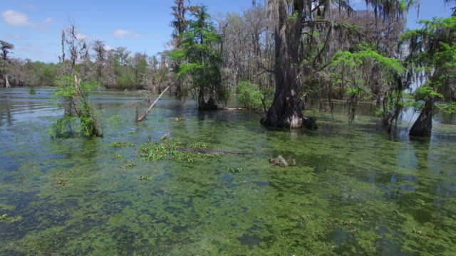 low fly up to alligator - drone aerial 4k everglades, swamp bayou with wildlife alligator nesting ibis, anhinga, cormorant, snowy egret, spoonbill, blue heron, eagle, hawk, cypress tree 4k nature/wildlife/weather drone aerial video - bayou lafourche stock-videos und b-roll-filmmaterial