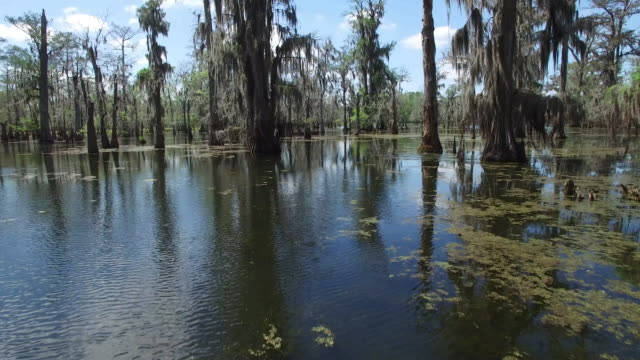 low flying through swamp close tree - drone aerial 4k everglades, swamp bayou with wildlife alligator and nesting white ibis, anhinga, cormorant, snowy egret, egret, spoonbill, blue heron, eagle, hawk, in america - drone aerial view - bayou lafourche stock-videos und b-roll-filmmaterial