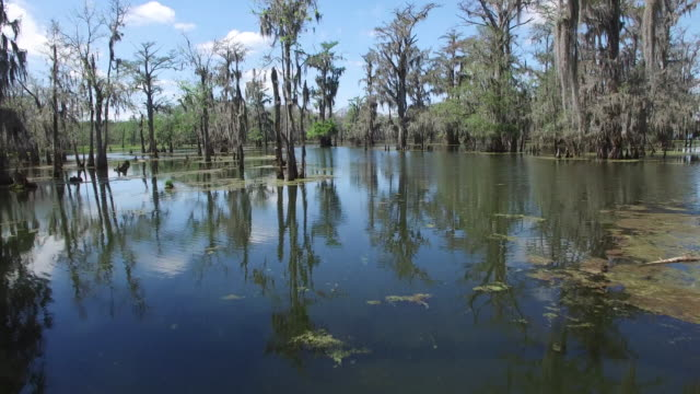 low flying through swamp - drone aerial 4k everglades, swamp bayou with wildlife alligator and nesting white ibis, anhinga, cormorant, snowy egret, egret, spoonbill, blue heron, eagle, hawk, in america - drone aerial view - bayou lafourche stock-videos und b-roll-filmmaterial