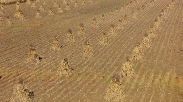 WS AERIAL low over cornstalk piles at Amish farm in Richland County / Ohio, United States