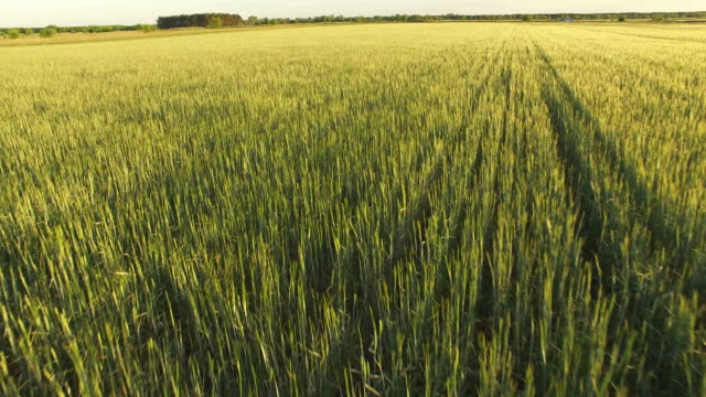 vídeos de stock, filmes e b-roll de baixo em campos de trigo verde - baixo posição