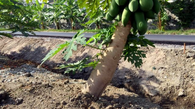 low papaya tree - papaya stock videos & royalty-free footage