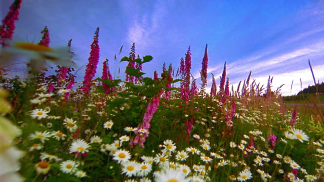 vidéos et rushes de low point of view through field of daisies + dark pink foxglove wildflowers in mountain meadow / oregon - marguerite