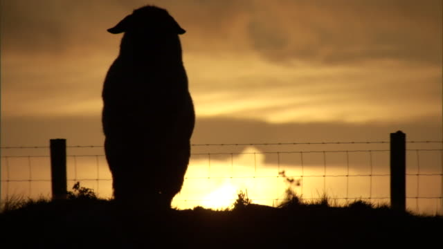 a low sun silhouettes a sheep standing in a fenced field. - sheep stock videos & royalty-free footage