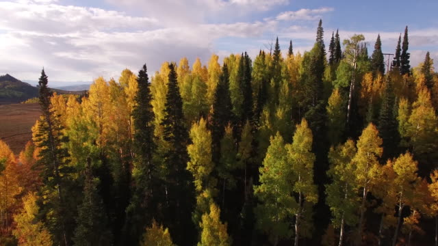 low to high close to aspen trees reveal, aerial, 4k, 33s, 18of34, aspen trees, foliage, mountains, beautiful colors, changing leaves, colorado, aerial, stock video sale - drone discoveries 4k nature/wildlife/weather drone aerial video - städsegrönt träd bildbanksvideor och videomaterial från bakom kulisserna