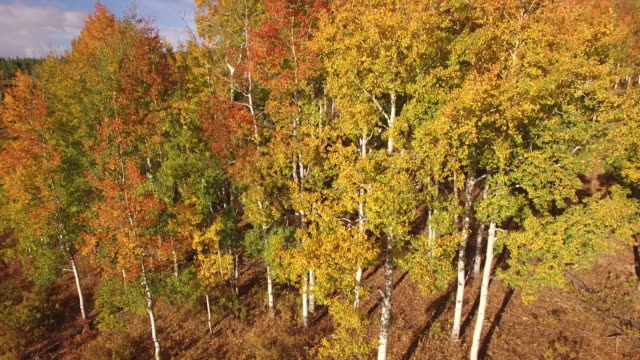 low to high straight up aspen tree reveal, aerial, 4k, 29s, 24of34, aspen trees, foliage, mountains, beautiful colors, changing leaves, colorado, aerial, stock video sale - drone discoveries 4k nature/wildlife/weather drone aerial video - aspen tree stock videos & royalty-free footage