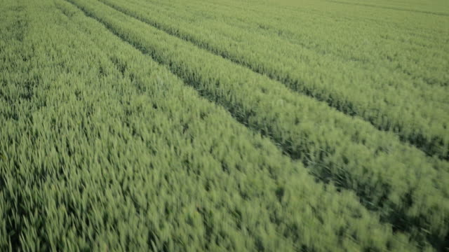 Low tracking aerial drone footage over corn British corn field