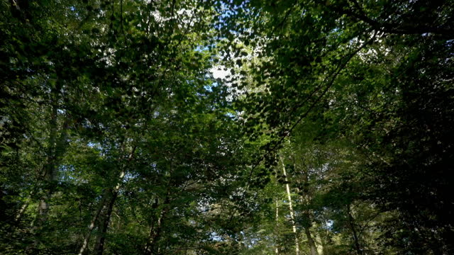 low-angle pov moving through dense woodland - tree canopy stock videos & royalty-free footage