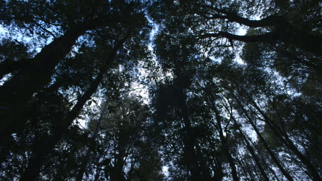 Low-angle pan right, then pan left, across tall trees in a Nothofagus forest, Barrington Tops National Park, New South Wales, Australia.