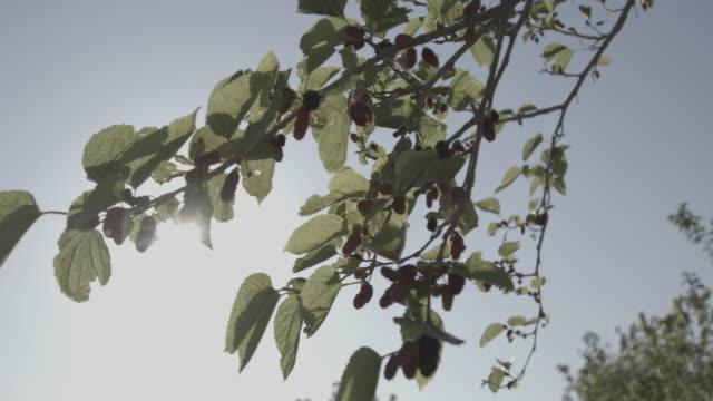 vidéos et rushes de low-angle pan-right of sunlight shining through the branches of a mulberrytree. - arbre à feuilles caduques