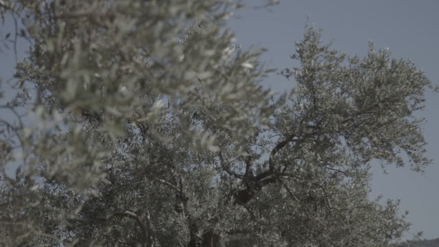 vidéos et rushes de low-angle rack-focus from an olive tree to olive leaves swaying in the breeze. - arbre à feuilles caduques