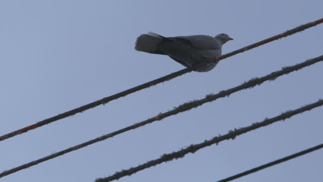 Low-angle sequence showing a pigeon on taut telegraph line, UK.