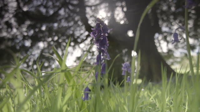 low-angle shot of bright sunlight shining over bluebells, uk. - sunlight stock videos & royalty-free footage