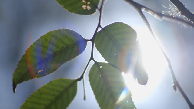 Low-angle shot of the sun shining through dangling leaves (creating lens flare) with a defocussed moment, Barrington Tops National Park, New South Wales, Australia.