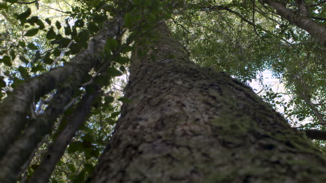 Low-angle shot pulling focus over the rough bark of a tall tree in Barrington Tops National Park, New South Wales, Australia.