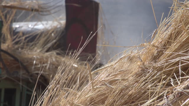 low-angle soft-focus view of a farmer pushing ripened wheat into a vintage belt-driven threshing machine, in rural northern mount lebanon. - soft focus stock videos & royalty-free footage