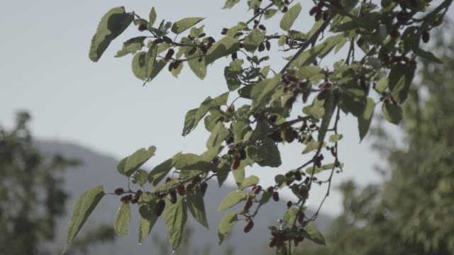 lowangle view of ripe mulberries on a branch swaying in the breeze - viewpoint stock videos & royalty-free footage