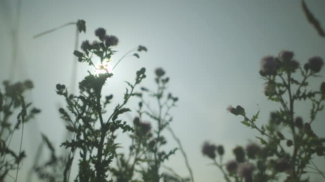 vídeos de stock e filmes b-roll de low-angle view of silhouetted thistles waving in a gentle breeze, uk. - espinho