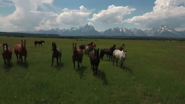 lower down to horses shaking head drone aerial 4k, alpine, american west, grand tetons national park, jackson hole, mountains, nature, outdoors, rocky mountains, scenic, teton range, tetons, wilderness, wildlife, wyoming.mov - group of animals stock videos & royalty-free footage