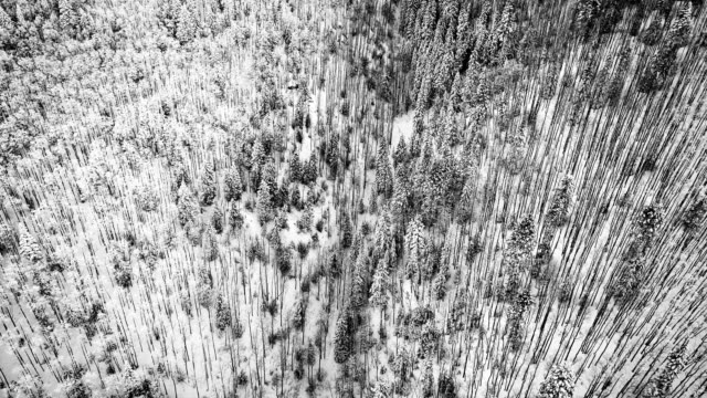 lowering down towards Snow Covered Forest with thin trees rise up on a white snow background