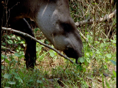 lowland tapir forages in forest, south america - tierische nase stock-videos und b-roll-filmmaterial