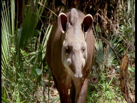 lowland tapir walks through forest to join its partner, south america - tierische nase stock-videos und b-roll-filmmaterial