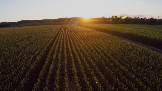 low-level, slow moving aerial view of cornfields in the shenandoah valley of virginia at sunset. - モロコシ点の映像素材/bロール