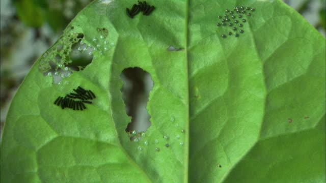 luehdorfia puziloi butterfly caterpillar eat wild ginger leaf - skadedjur bildbanksvideor och videomaterial från bakom kulisserna