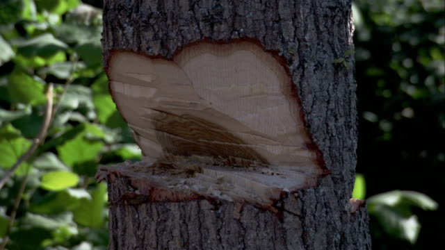 a lumberjack chops a slender tree with an axe. available in hd. - tagliaboschi video stock e b–roll