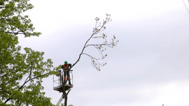 lumberjack cut down a tree on the platform - ramo parte della pianta video stock e b–roll