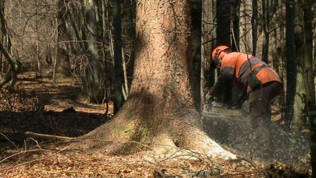 vídeos de stock, filmes e b-roll de hd câmera lenta: madeireiro de uma grande árvore - forester
