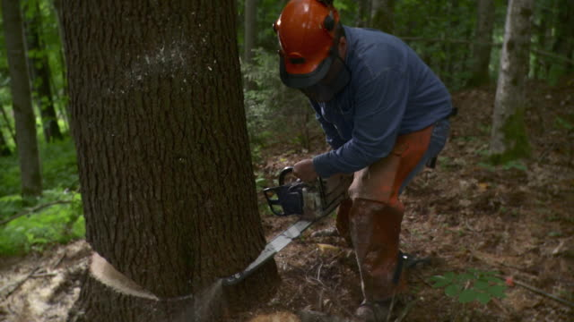 ms lumberjack cutting through large tree in forest, stowe, vermont, usa - chainsaw stock videos & royalty-free footage