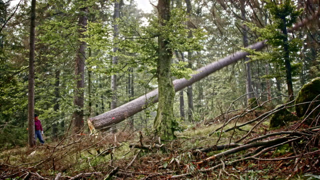 lumberjack felling a tree in forest - tagliaboschi video stock e b–roll