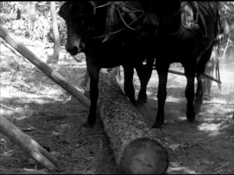 Lumberjack preparing cut log mules pulling log rolling up wooden planks onto flatbed truck in forest Pine trees felling AR Laneburg Nevada County
