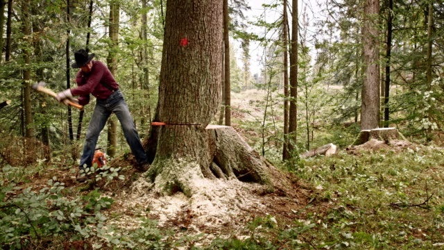 lumberjack preparing to fell a tree using wedges - tagliaboschi video stock e b–roll