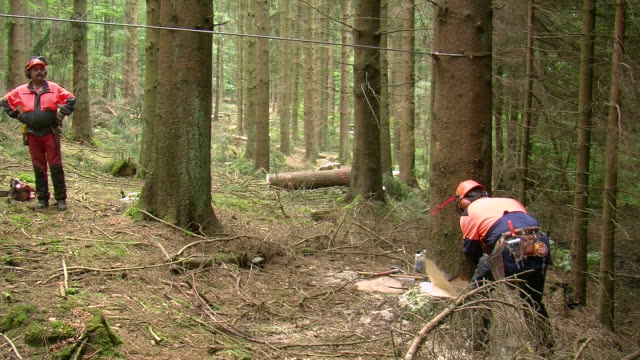 vidéos et rushes de ms lumberjacks at work in forest / zerf, rhineland palatinate, germany - bûcheron
