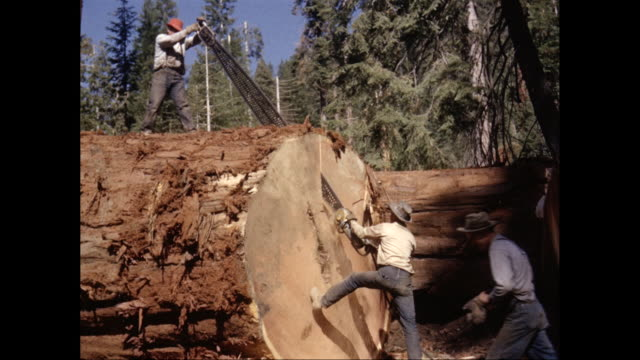 vidéos et rushes de ws lumberjacks sawing giant redwood log with chainsaw in forest / united states - bûcheron
