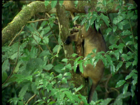 Lumholtz tree kangaroo cautiously clambers down tree trunk in forest, Queensland