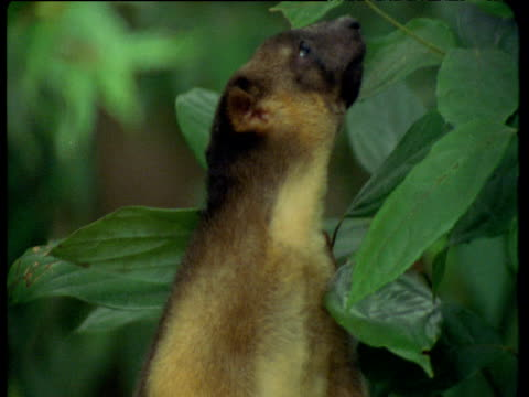 Lumholtz tree kangaroo eats leaf in forest canopy, Queensland